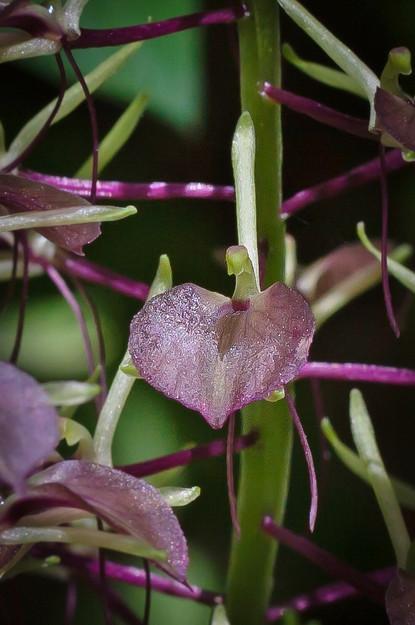 Liparis liliifolia