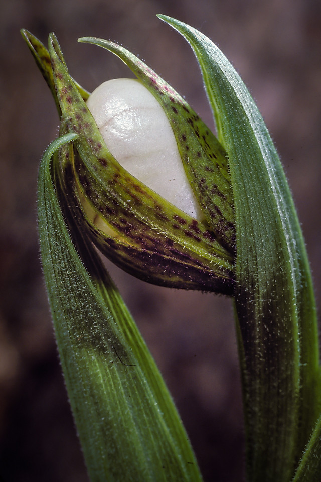 Cypripedium candidum, emerging.