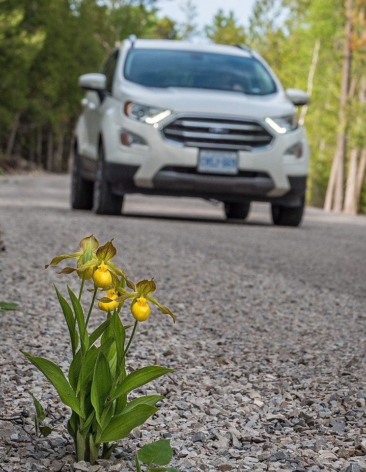 Cypripedium parviflorum growing into the road, Bruce Peninsula