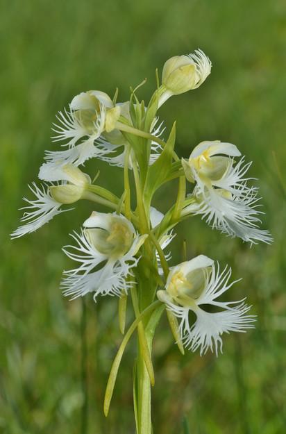 Platanthera praeclara