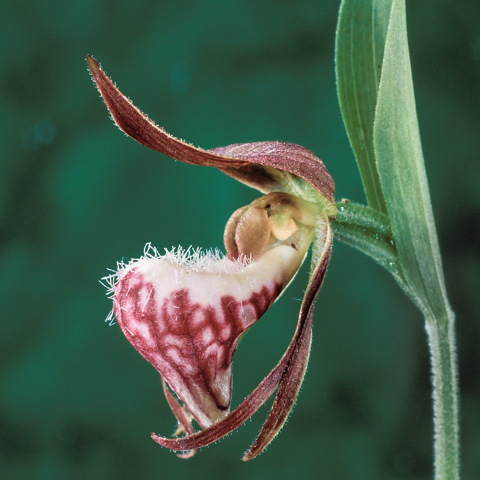 Cypripedium arietinum, Ram's head lady's slipper.