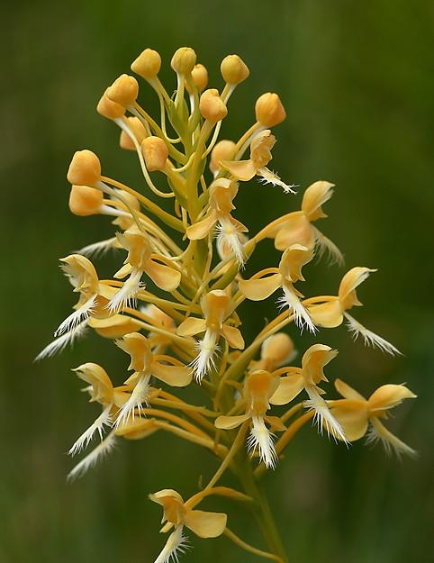 Platanthera x bicolor