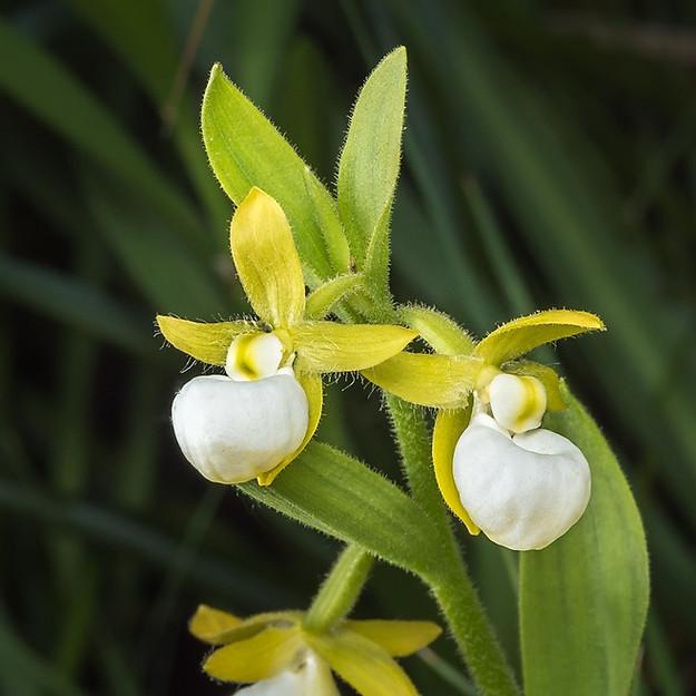 Cypripedium californicum