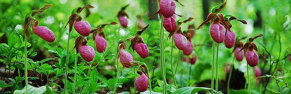 Cypripedium acaule, Pink Lady's Slipper Orchid