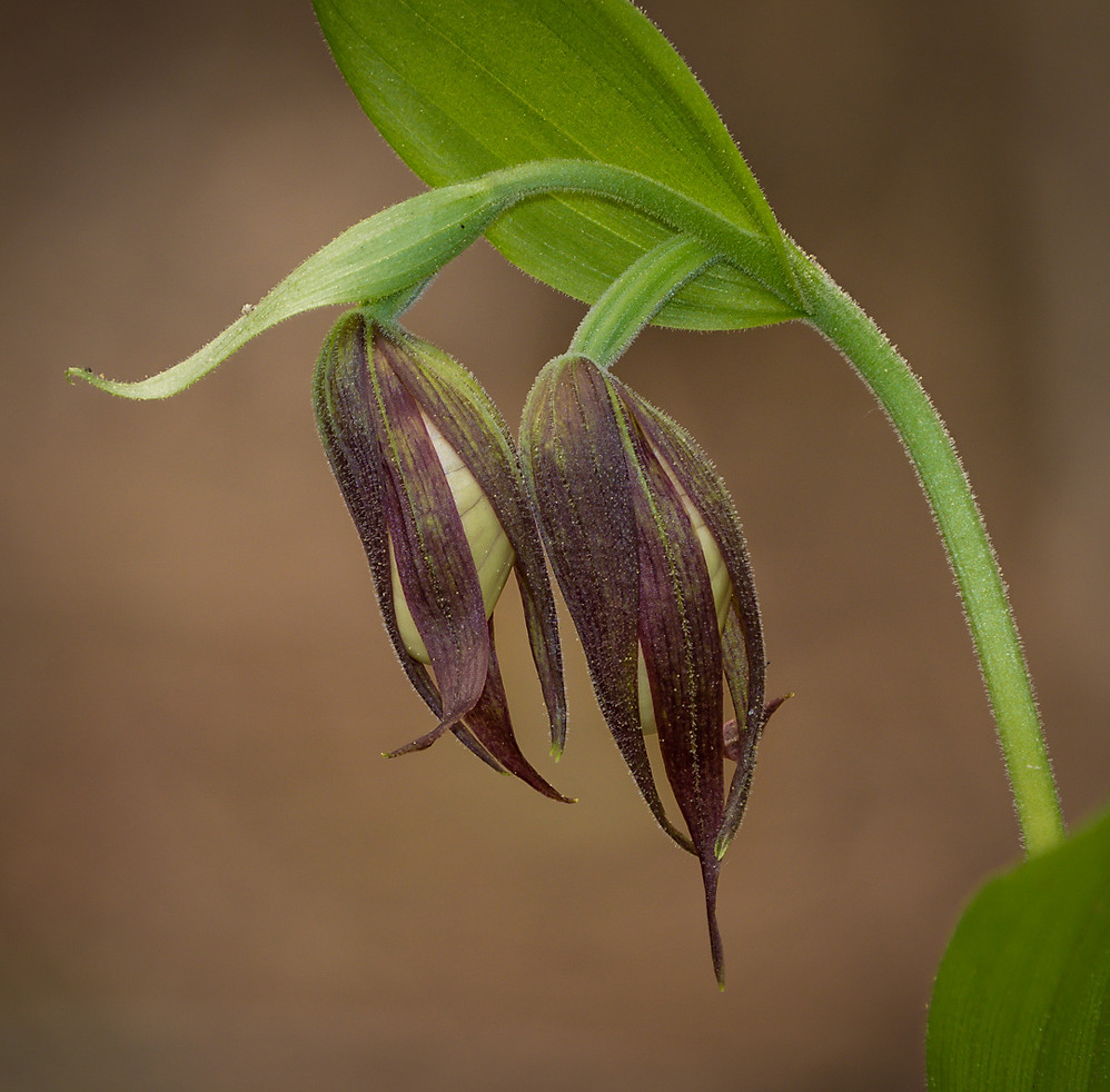 Cypripedium montanum buds. Mountain lady's slipper.