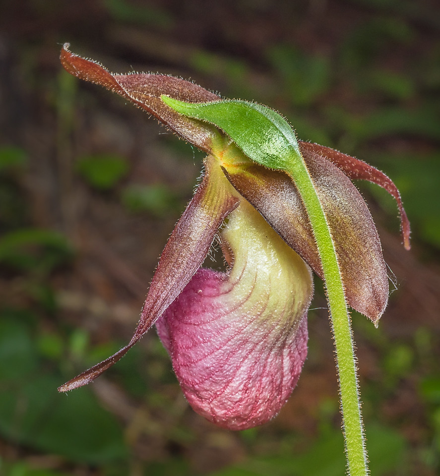 Cypripedium acaule, Pink lady's slipper orchid