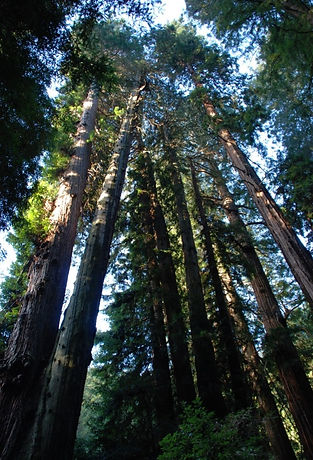 redwood trees looking upwards to sky