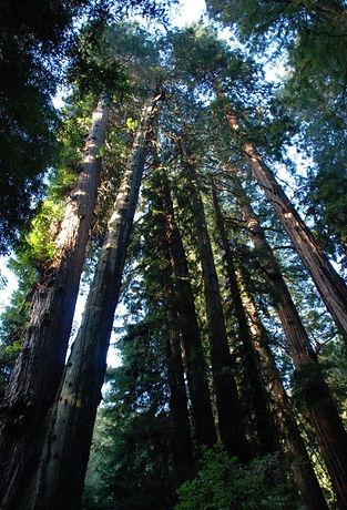 redwood trees looking upwards to sky