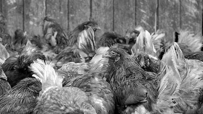 Chickens group b:w.jpg