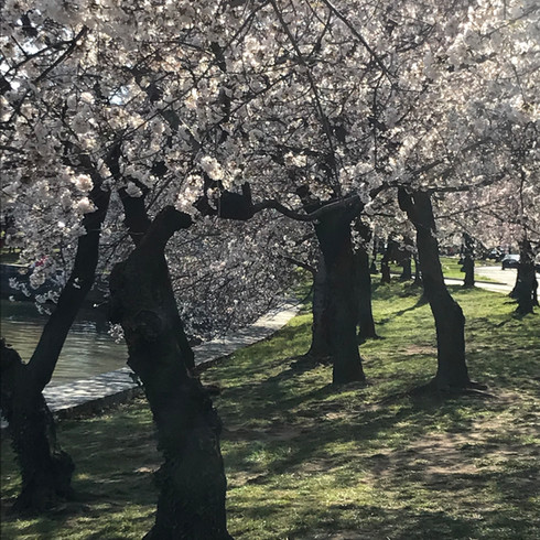Cherry Blossoms -National Mall