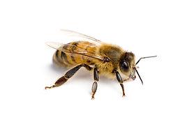 bee - worker bee.jpg
