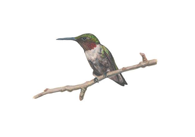 Hummingbirdcleaned.jpg
