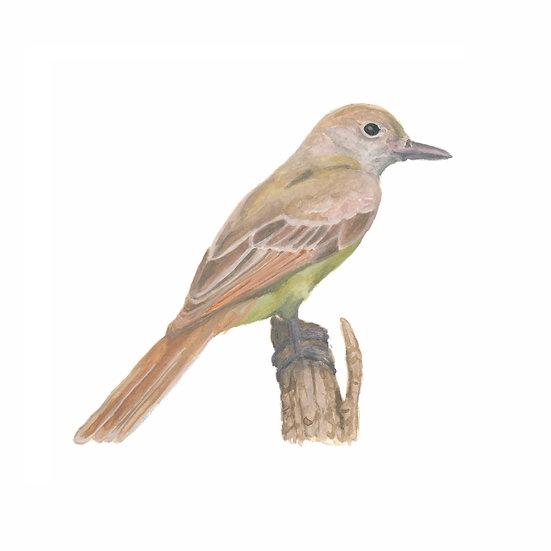 Boring Birds of Kingston: Great Crested Flycatcher