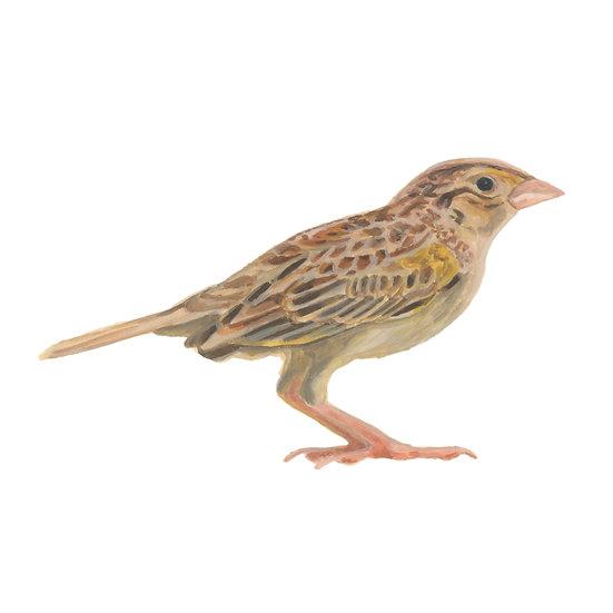 Boring Birds of Kingston: Grasshopper Sparrow