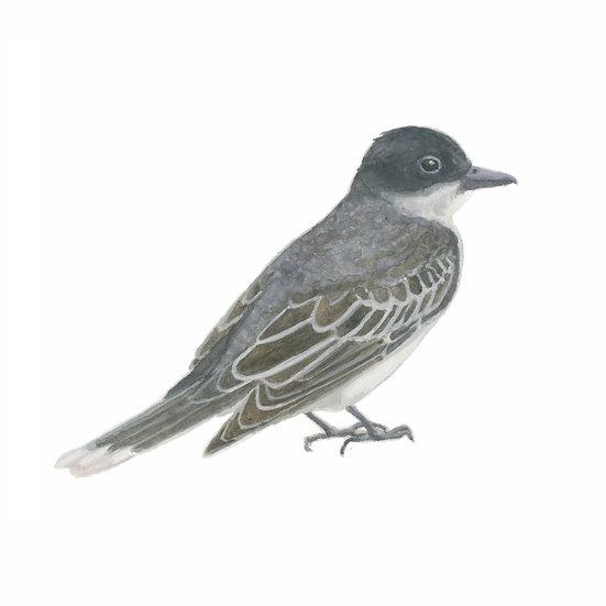 Boring Birds of Kingston: Eastern Kingbird