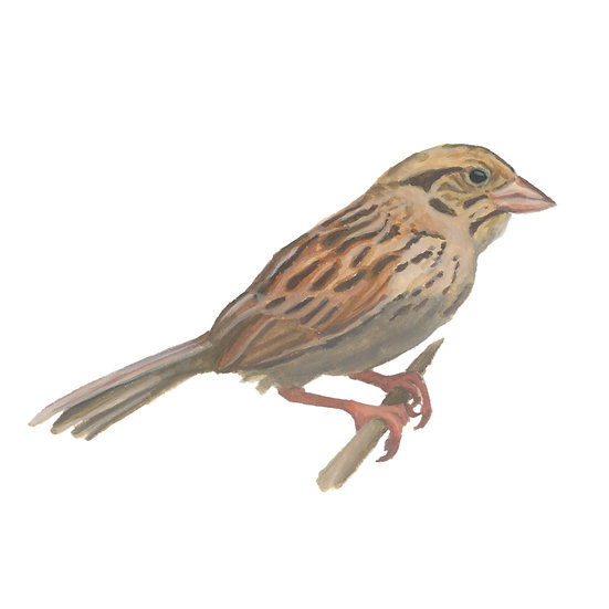 Boring Birds of Kingston: Henslow's Sparrow