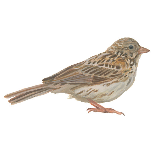 Boring Birds of Kingston: Vesper Sparrow
