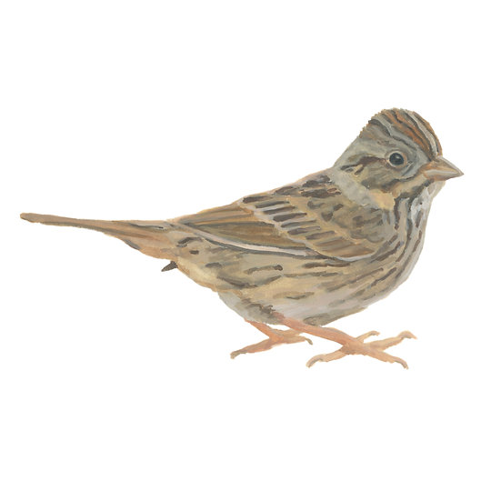 Boring Birds of Kingston: Licoln's Sparrow