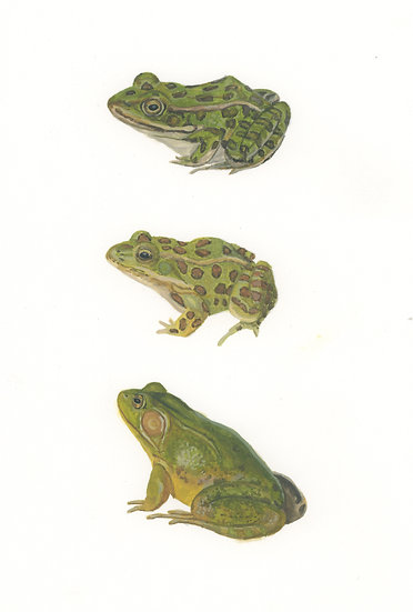 All the frogs 1