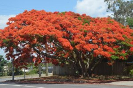 Poinciana in full flower in the street where I live