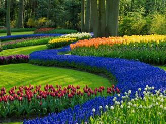 tulips_image_re-size_.jpg
