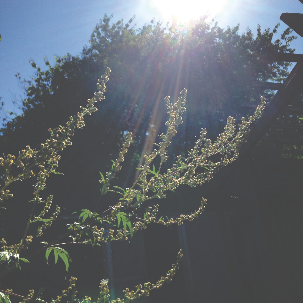 Mugwort in the sunshine