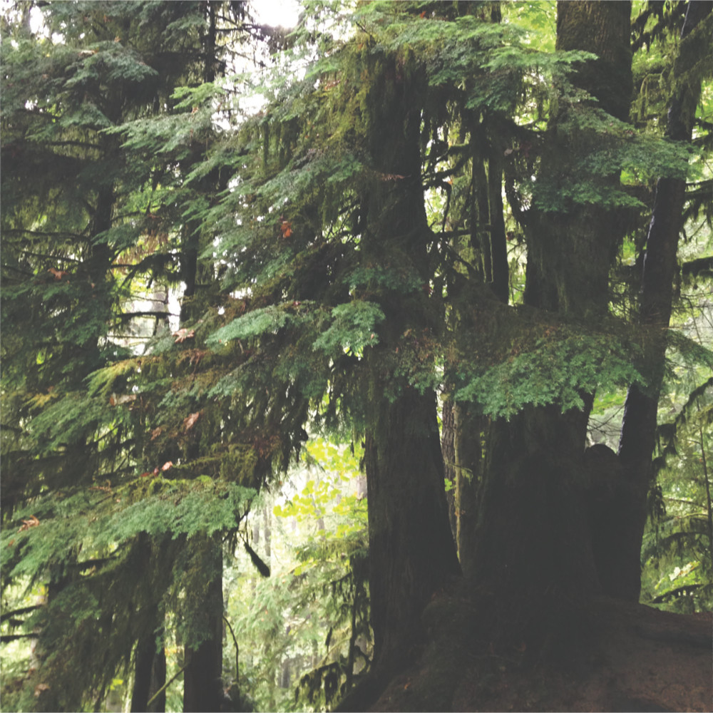 Western Hemlock in the Forest