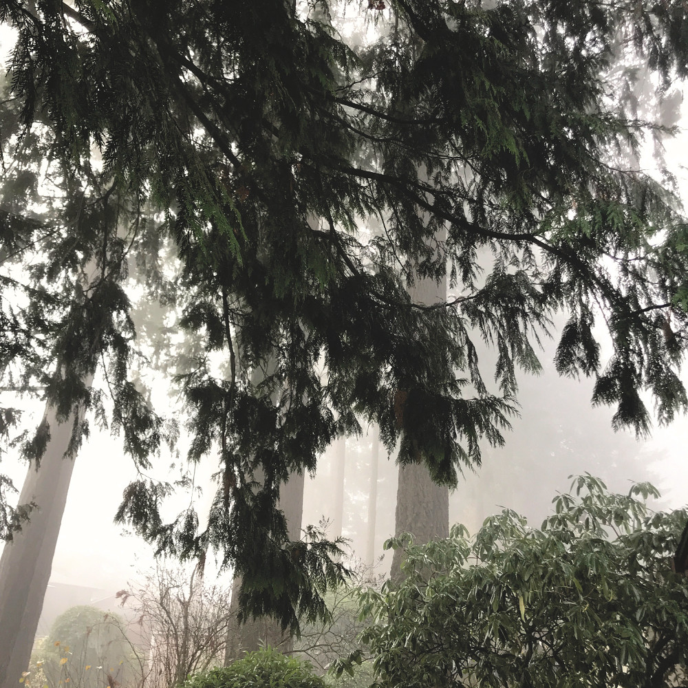 Red Cedar Fronds, With Fog