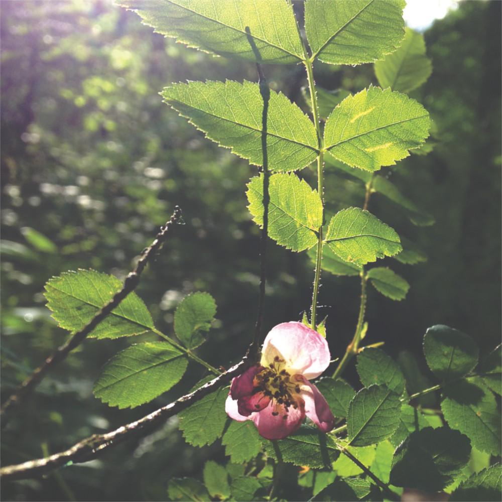Tiny wild rose in sunshine