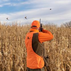 wingshooting pheasants