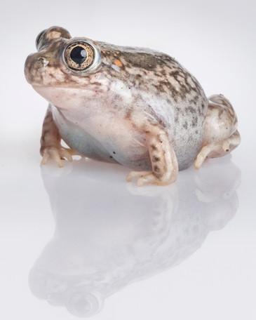 plains spadefoot toad,sam stukel-6.jpg