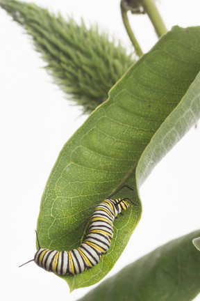 Monarch butterfly caterpillar on milkwee