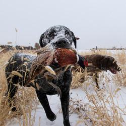 pheasant hunting,stukels,south dakota (1