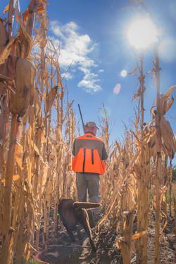 Pheasant hunting in the corn