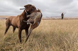 A chocolate lab retrieves a pheasant
