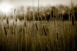 Frosty marsh