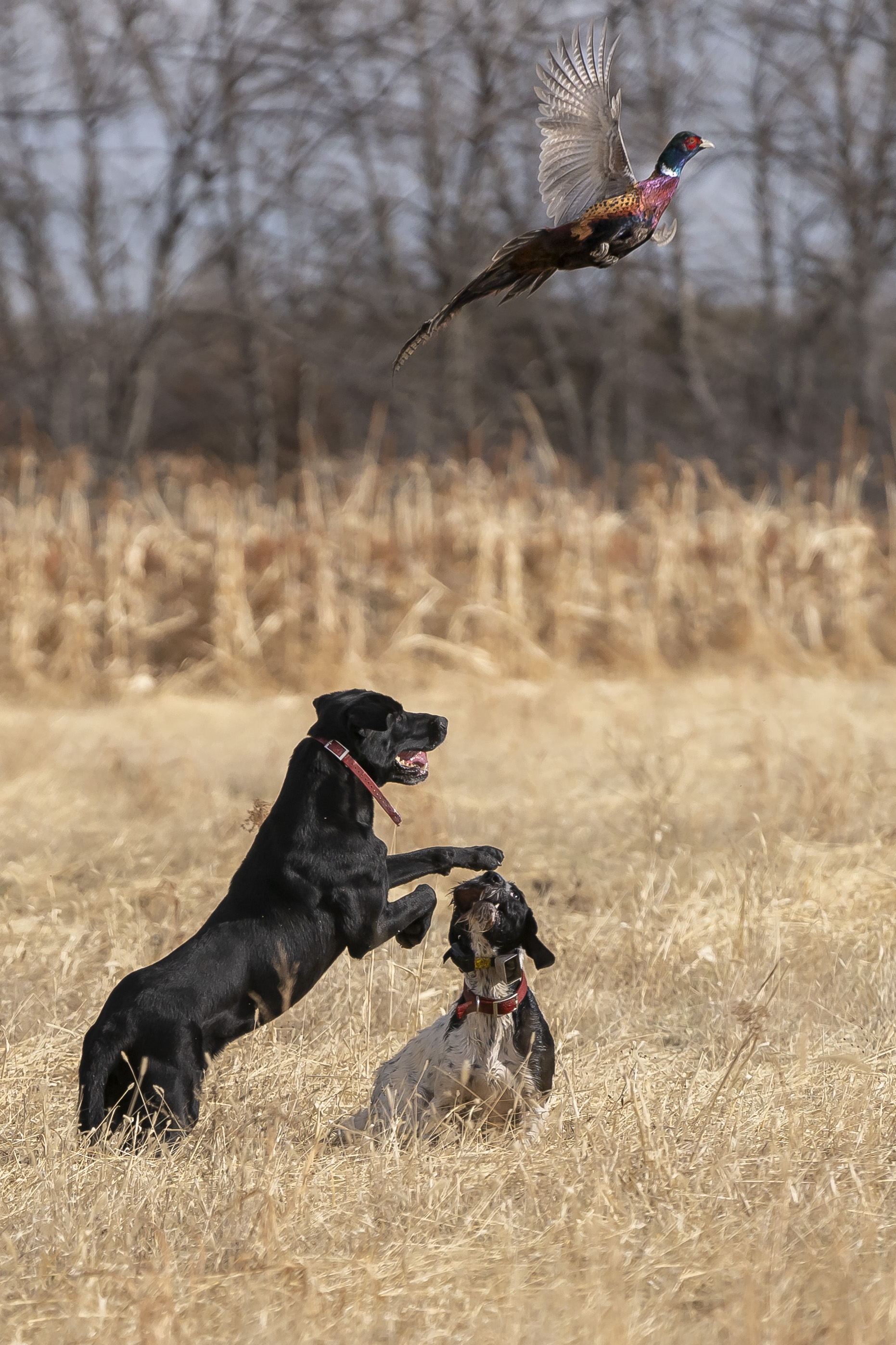 Hunting dogs in action
