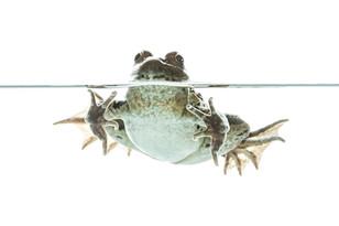 Prairie leopard frog