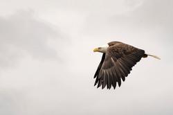 Alaskan bald eagle,sam stukel (2)