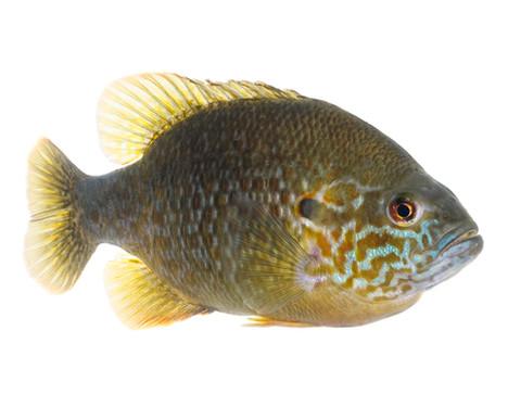 hybrid sunfish,sam stukel,2018-5.jpg