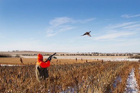 South Dakota pheasant hunting action