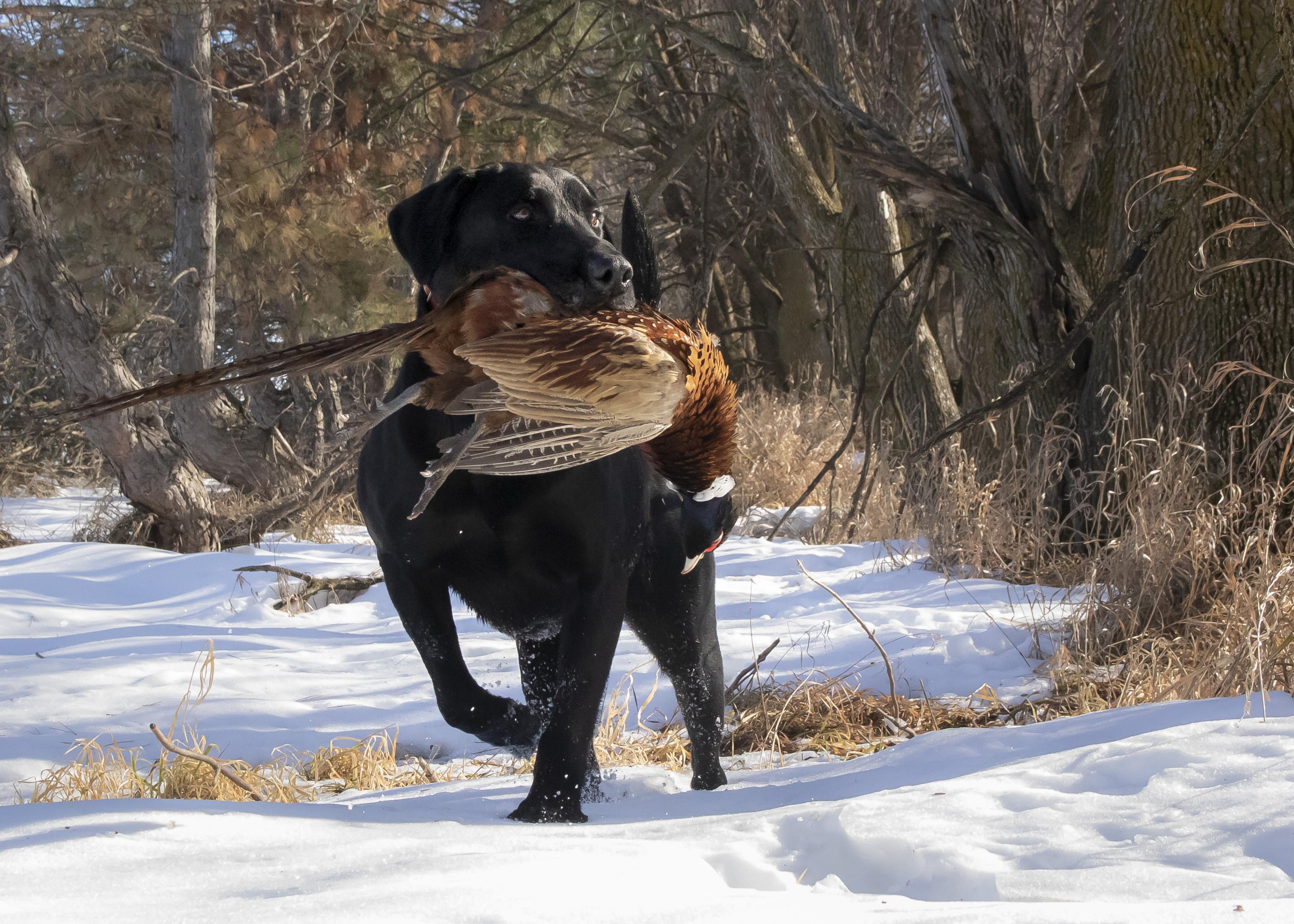 Ace retrieves a pheasant