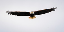 Alaskan bald eagle,sam stukel (1)