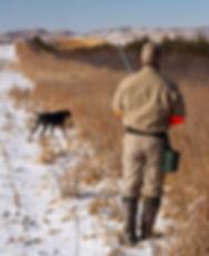 Hunting dog pointing a pheasant in South Dakota
