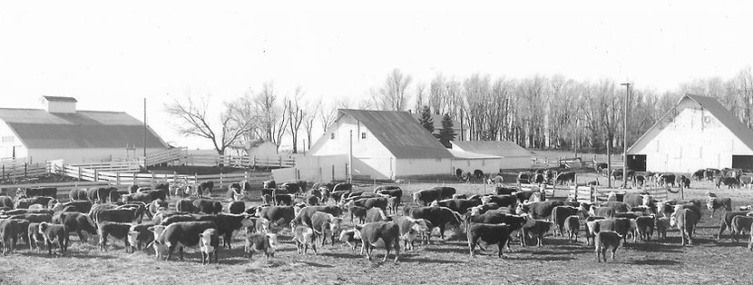 The Sale Barn and Henrecy Herefords