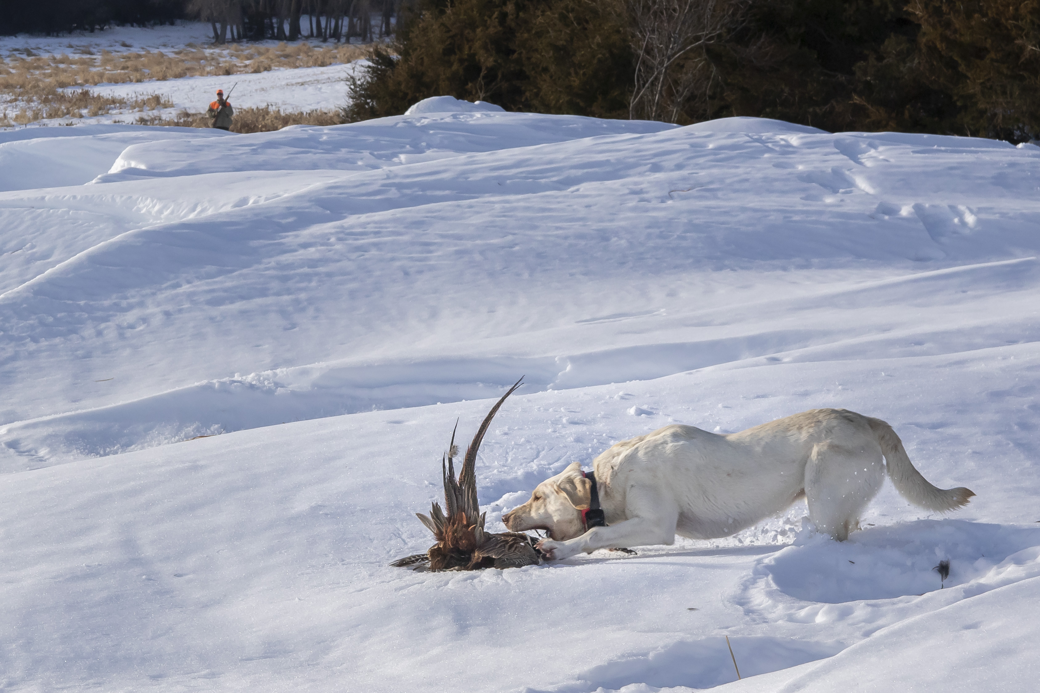 Pheasant retrieve in snow