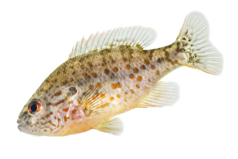 Orangspotted sunfish