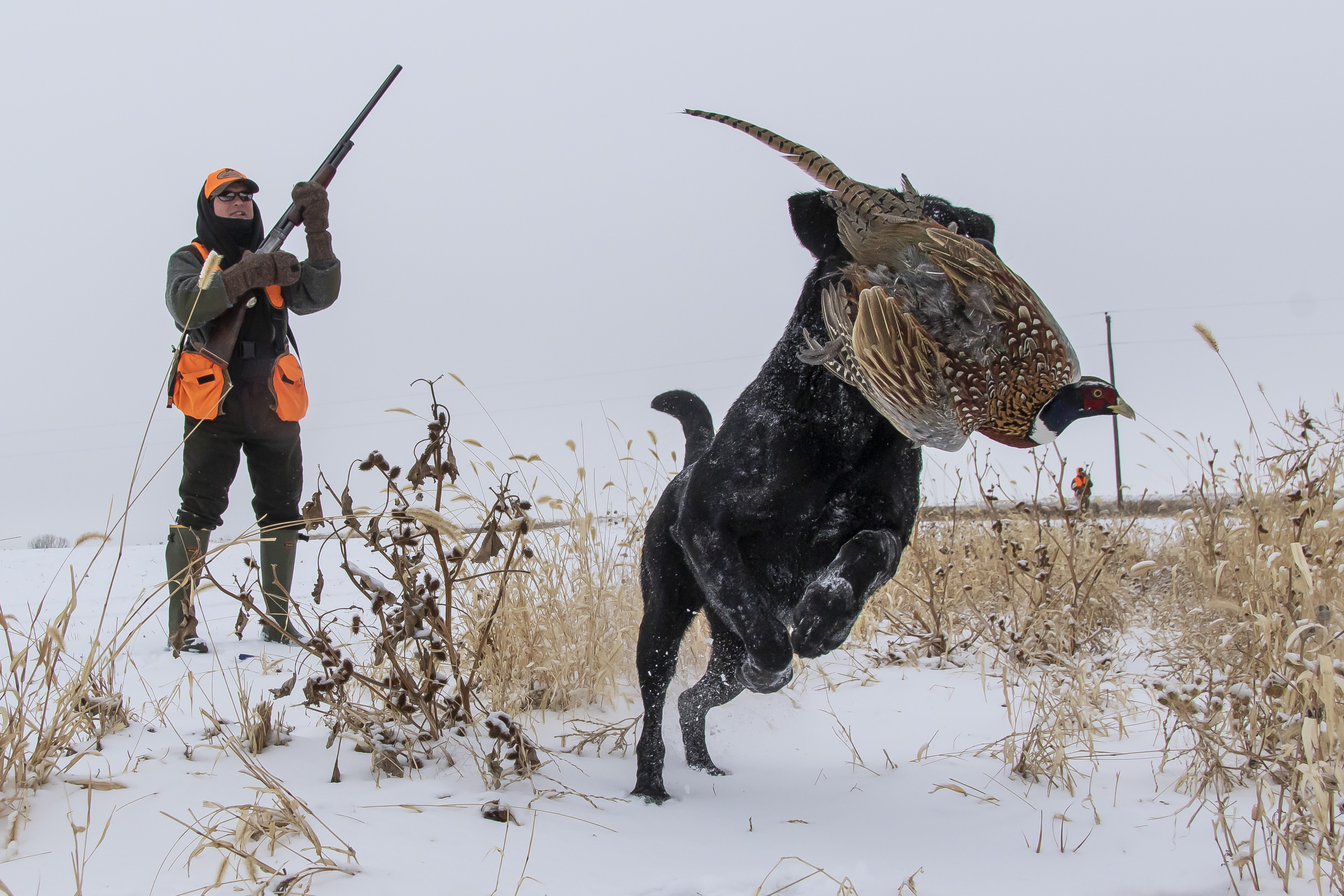 pheasant hunting,stukels,south dakota (1