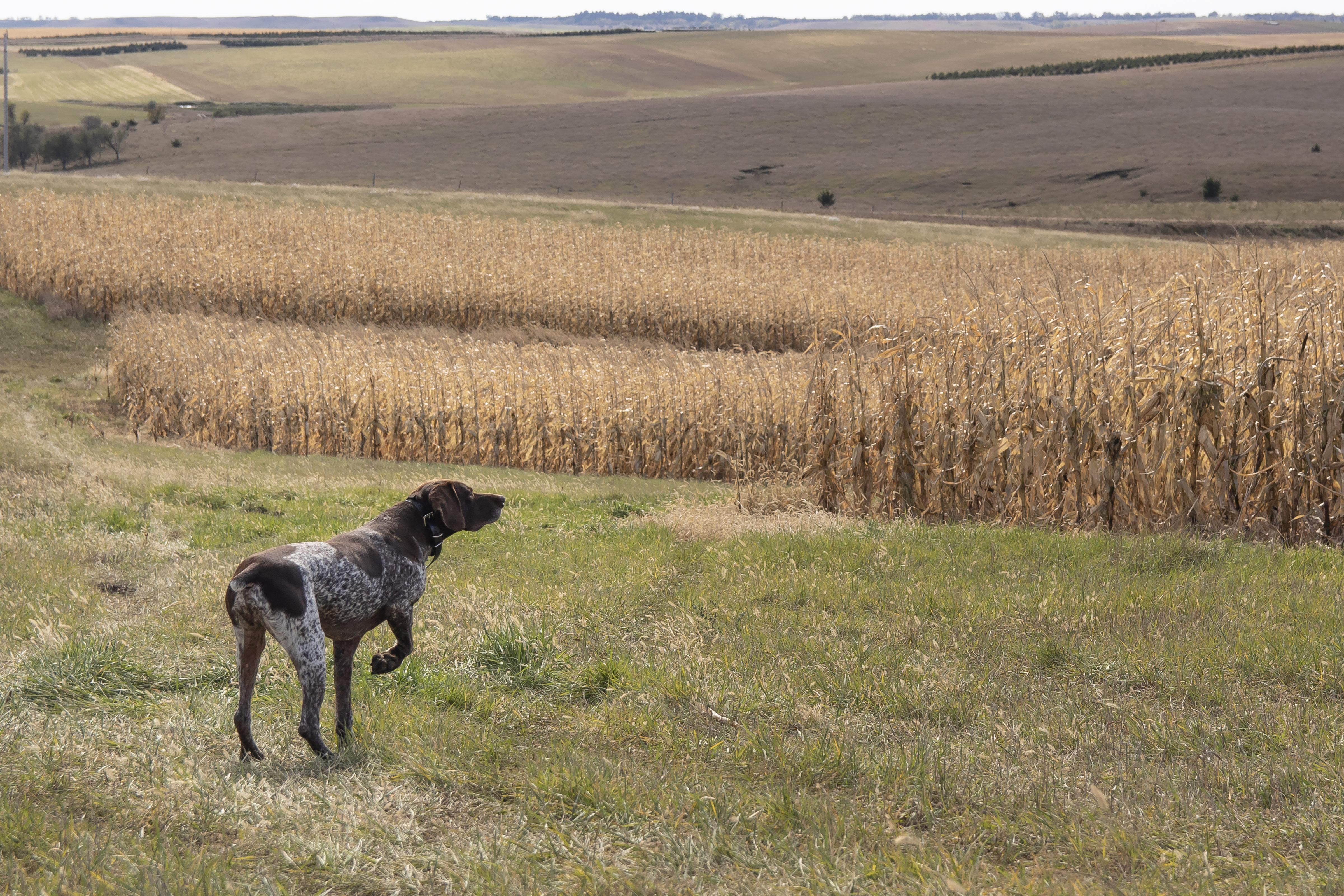 sam stukel,pheasant hunting-23