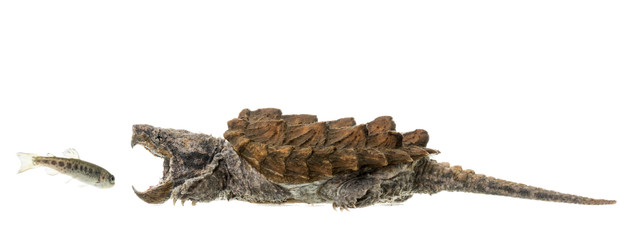 alligator snapping turtle,sam stukel,jun